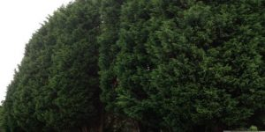 Conifer Removal Somerset